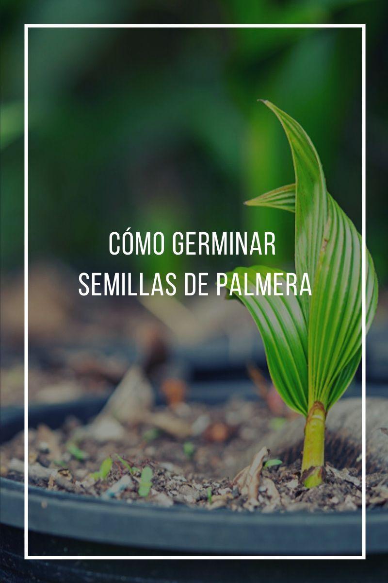Cómo germinar semillas de palmera