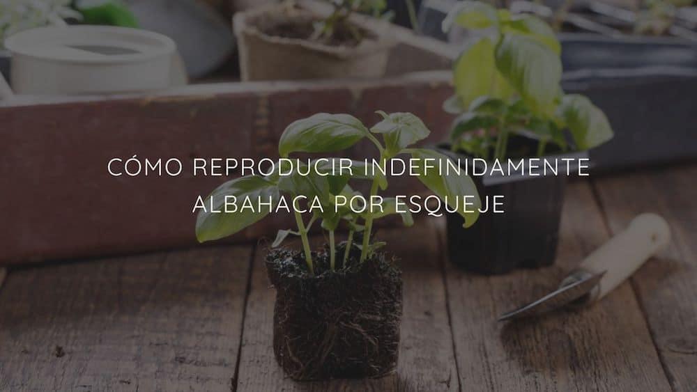 Cómo reproducir indefinidamente albahaca por esqueje