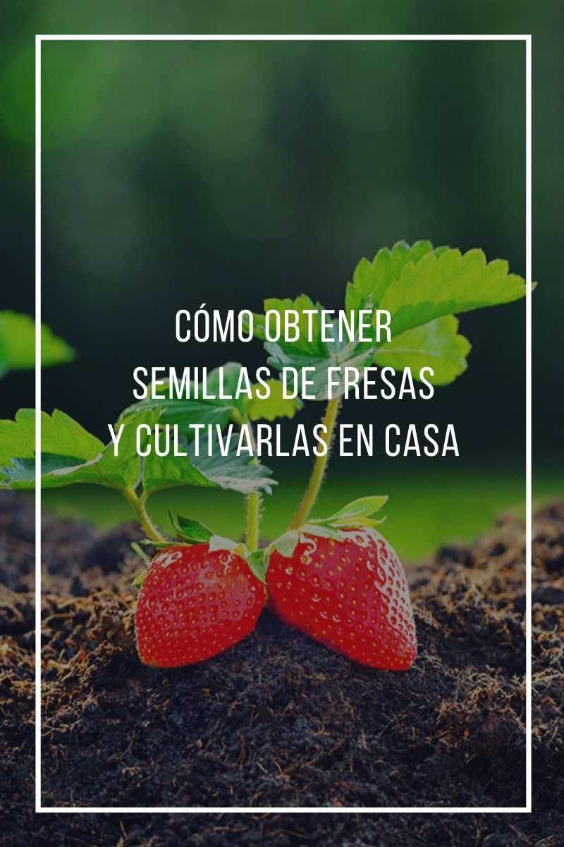 Cómo obtener semillas de fresas y cultivarlas en casa