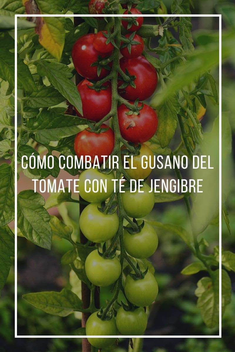 Cómo combatir el gusano del tomate con té de jengibre