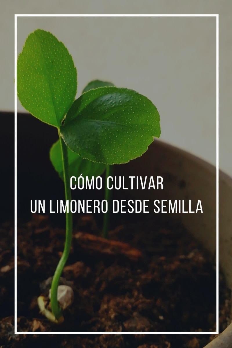 Cómo germinar una semilla de limón