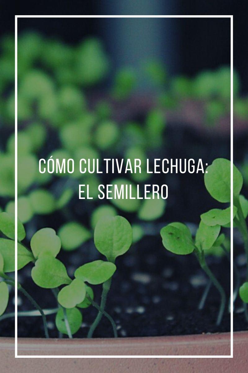 Cómo cultivar lechuga: el Semillero