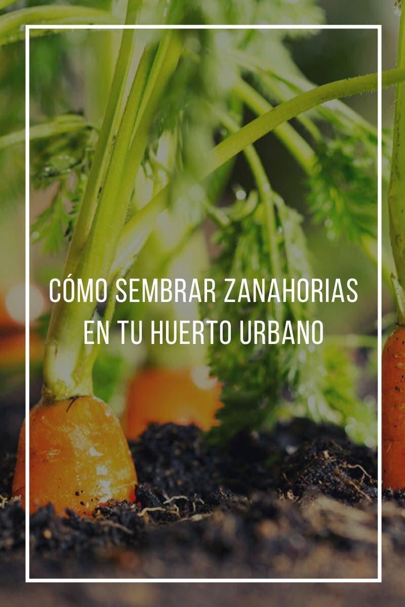 Cómo sembrar zanahorias en tu huerto urbano
