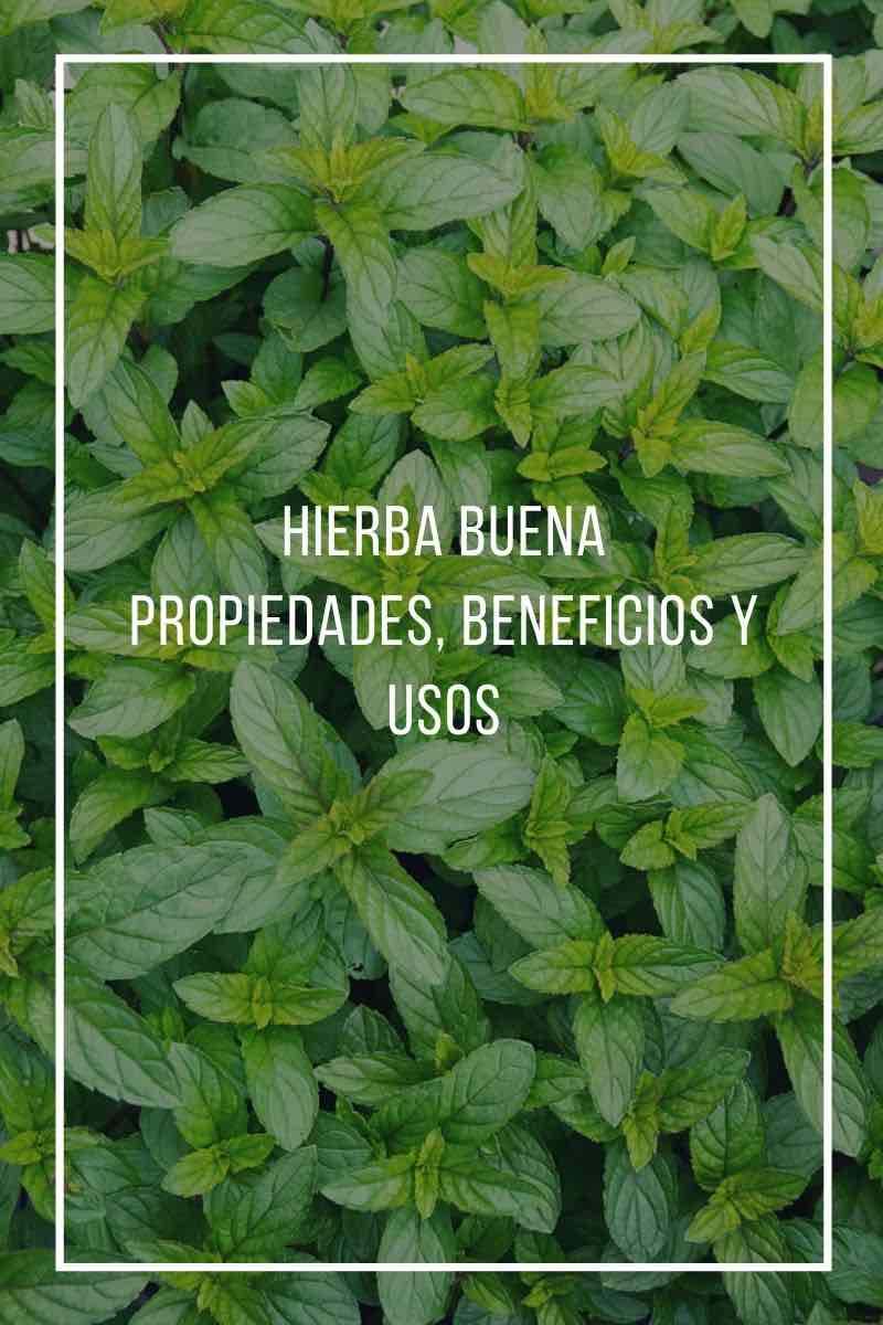 Beneficios, propiedades y usos de la hierba buena