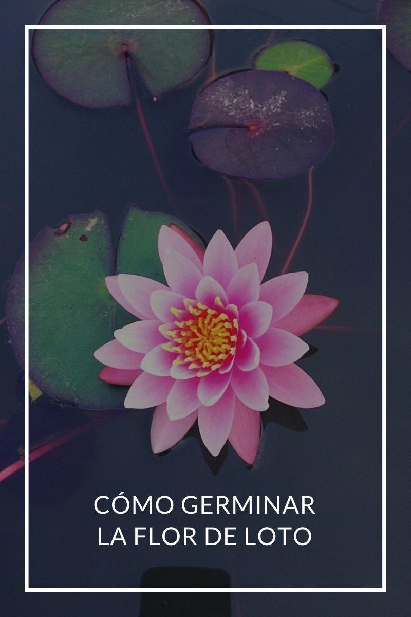 Cómo germinar la flor de loto