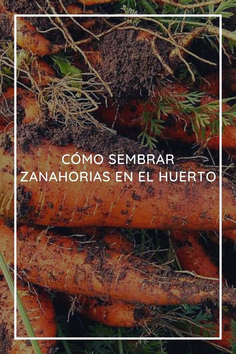 Cómo sembrar zanahorias en el huerto