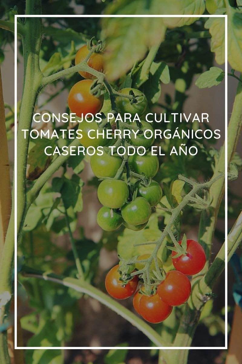 9 consejos para cultivar tomates cherry orgánicos caseros todo el año