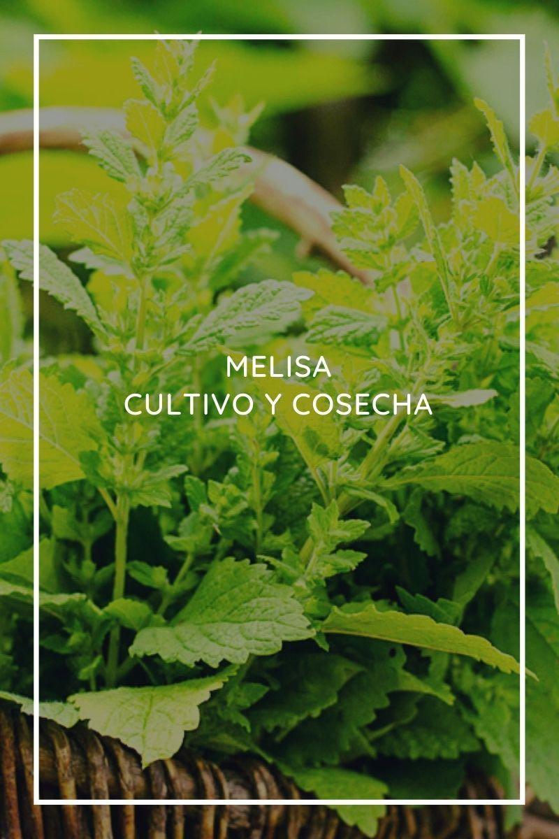 Melisa: cultivo y cosecha