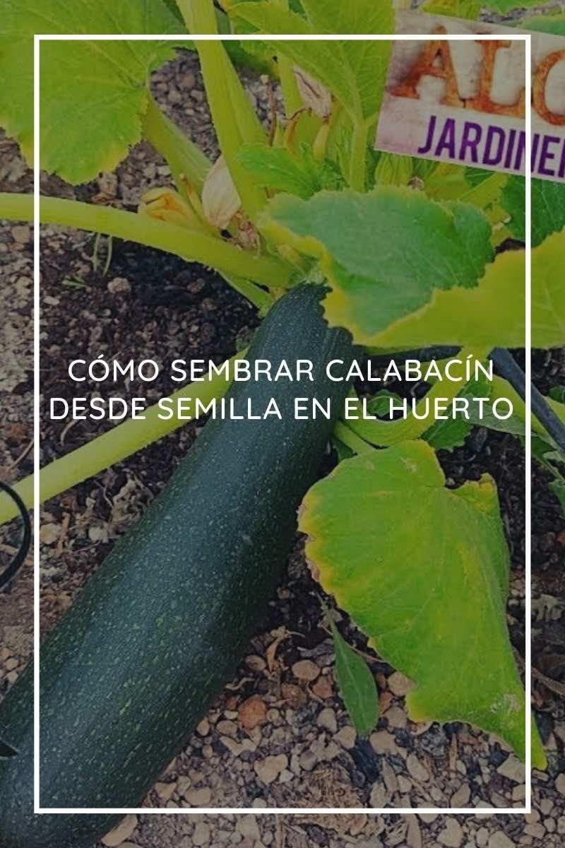 Cómo sembrar calabacín desde semilla en el huerto