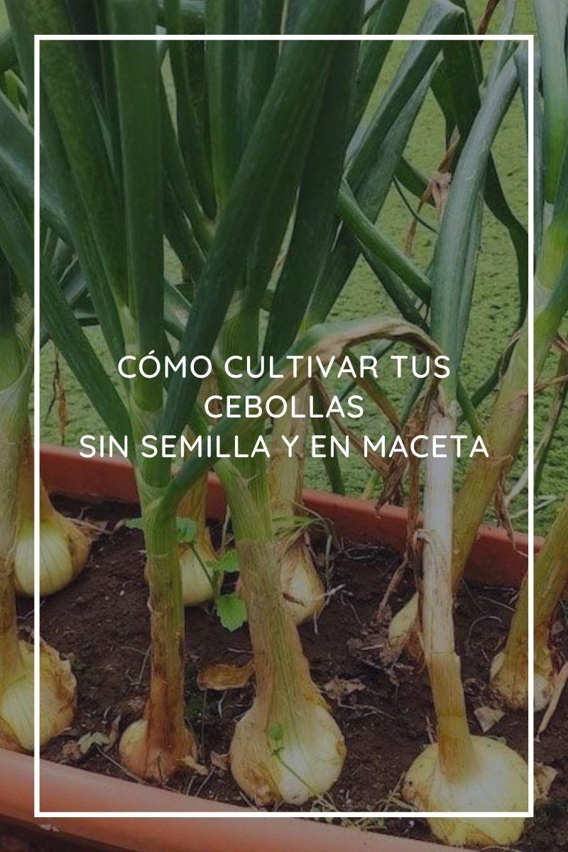Cómo cultivar tus cebollas sin semilla y en maceta