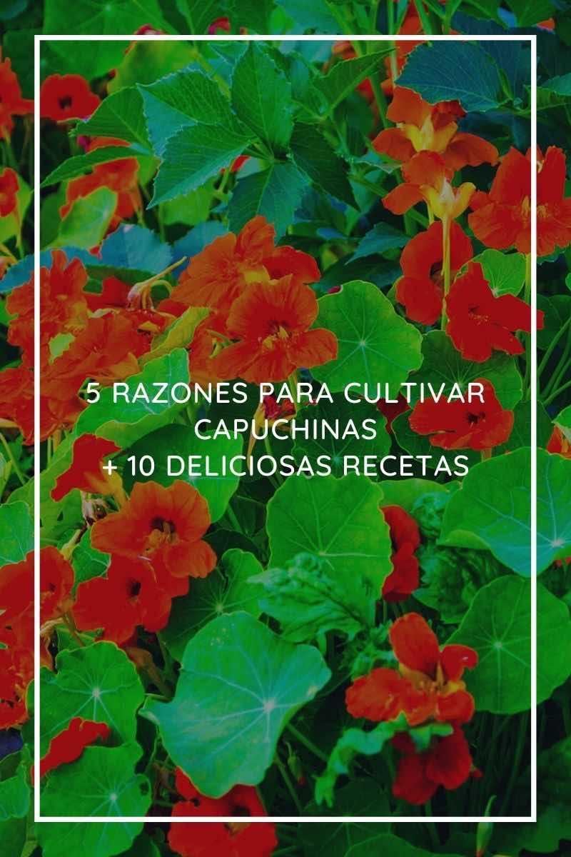 5 razones para cultivar capuchinas + 10 deliciosas recetas