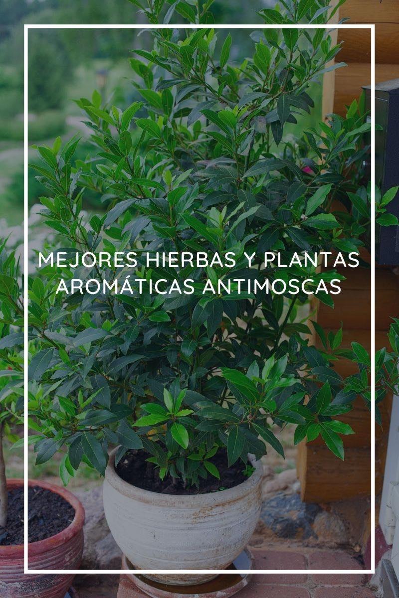 Las 6 mejores hierbas y plantas aromáticas antimoscas