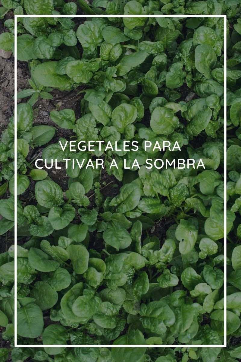 26 vegetales para cultivar a la sombra