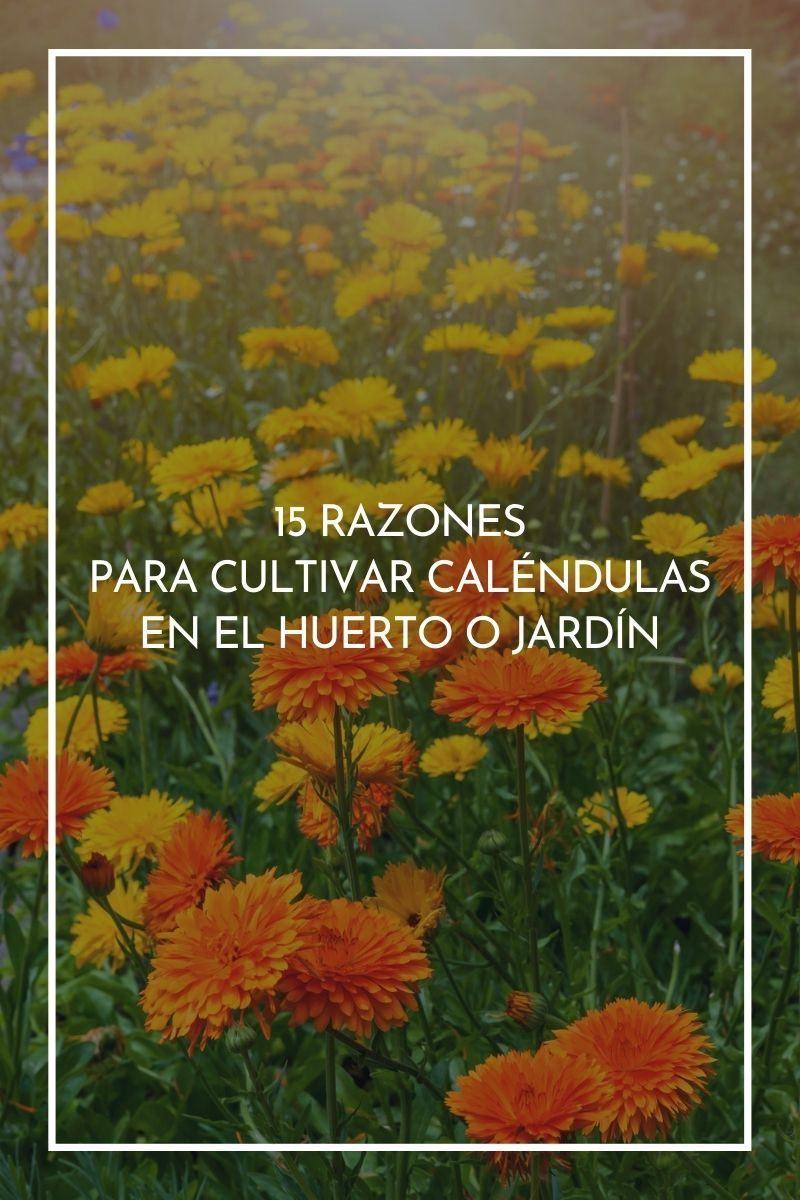 15 razones para cultivar caléndulas en el huerto o jardín