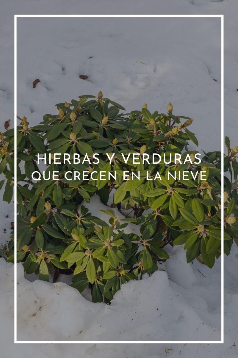Hierbas y verduras que crecen en la nieve