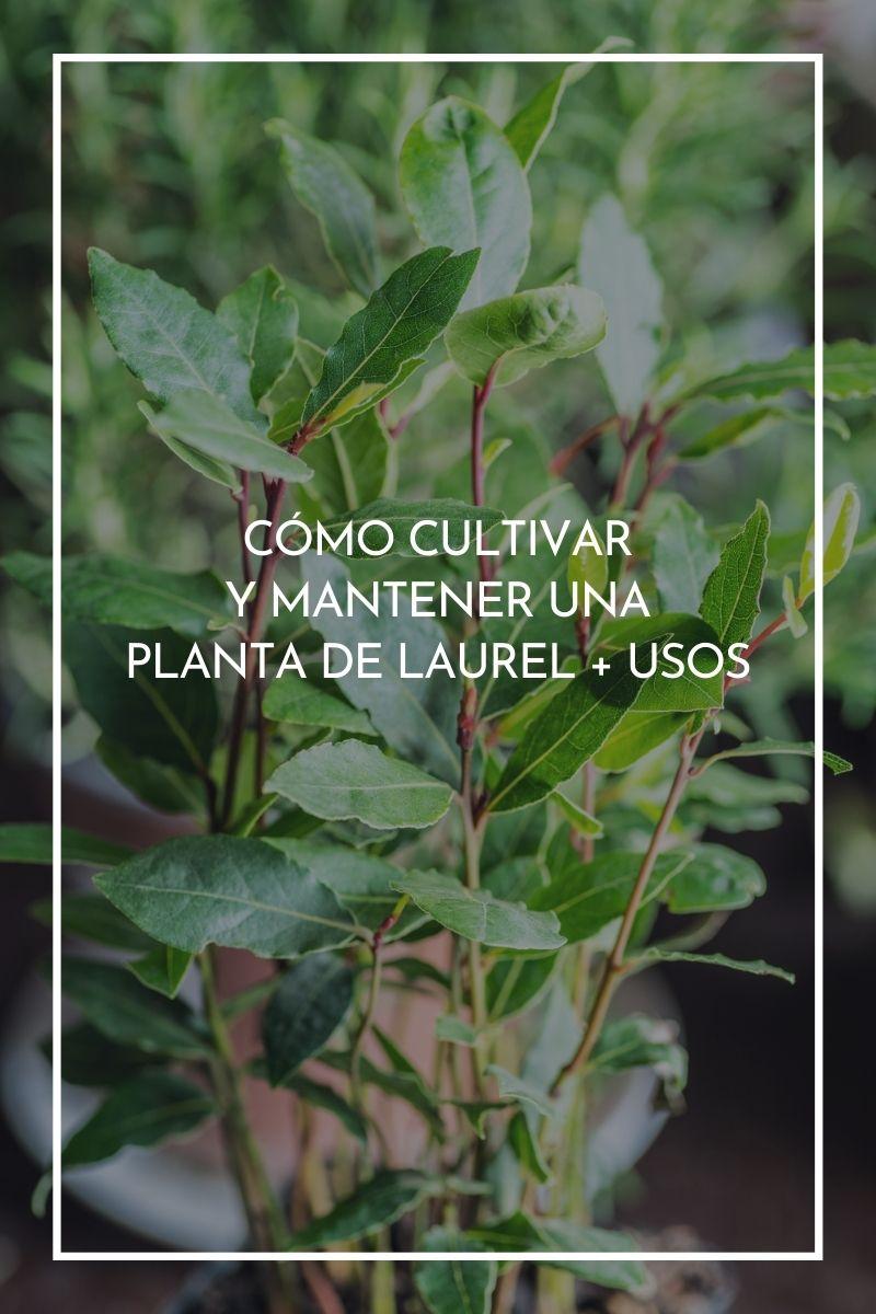 Cómo cultivar y mantener una planta de laurel + usos