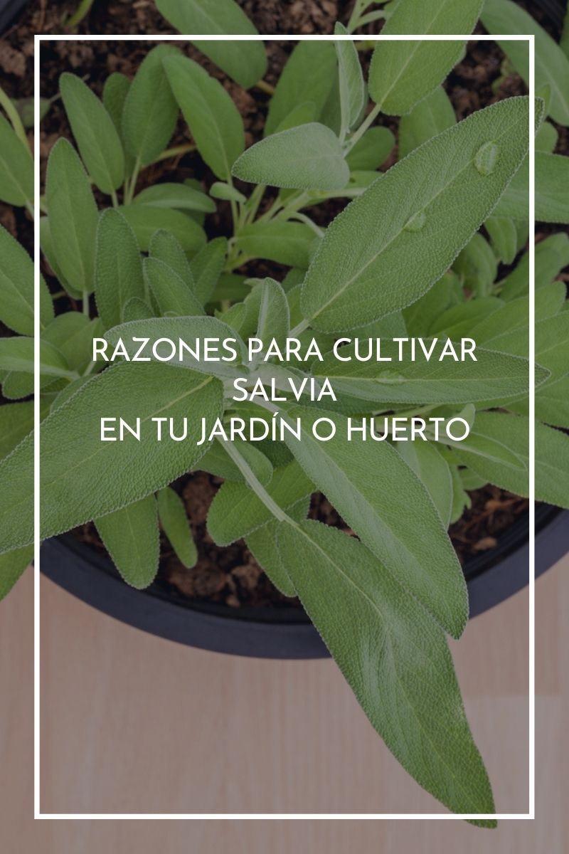 12 razones para cultivar salvia en tu jardín o huerto