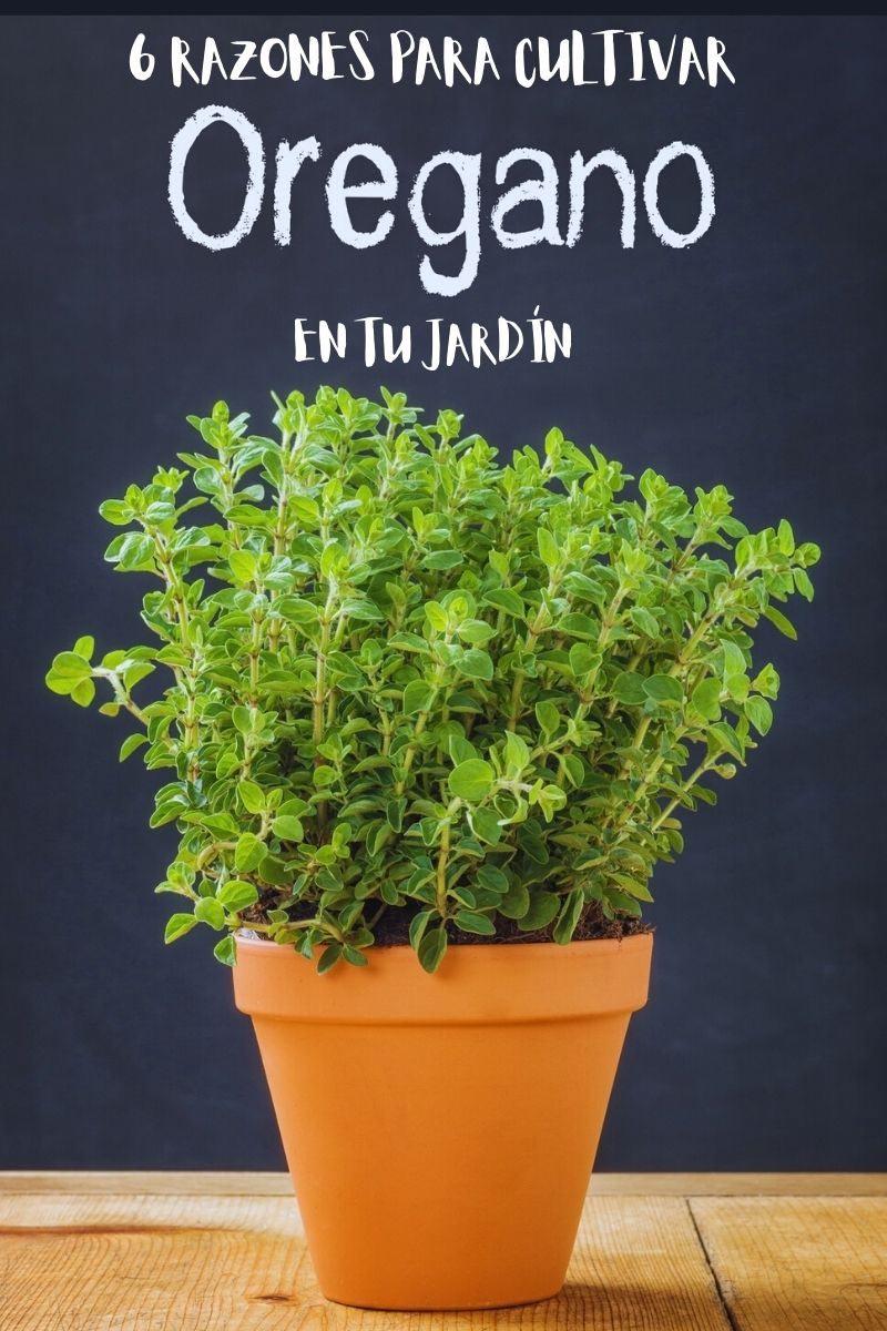 6 razones para cultivar orégano en tu jardín