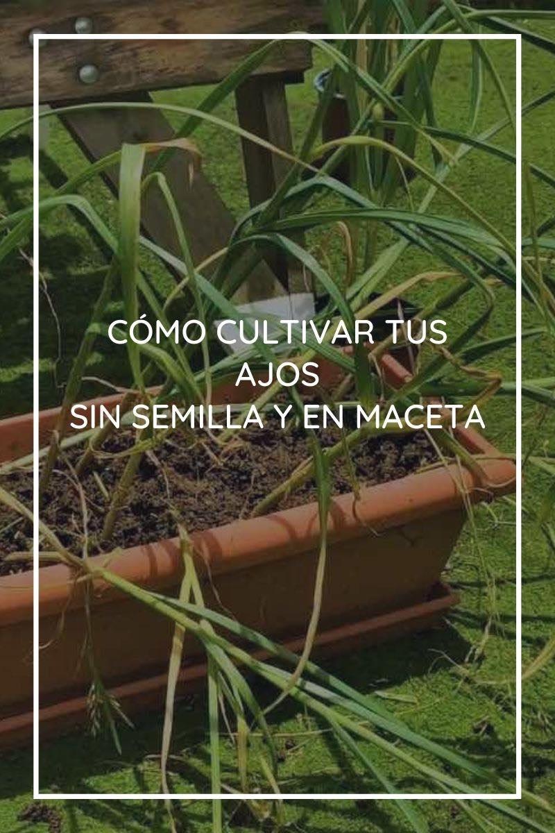 Cómo cultivar tus ajos sin semilla y en maceta
