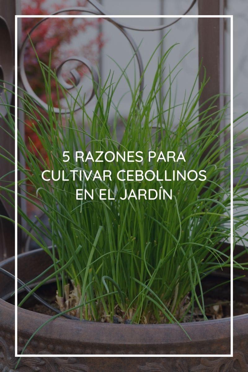 Razones para cultivar cebollinos en el jardín