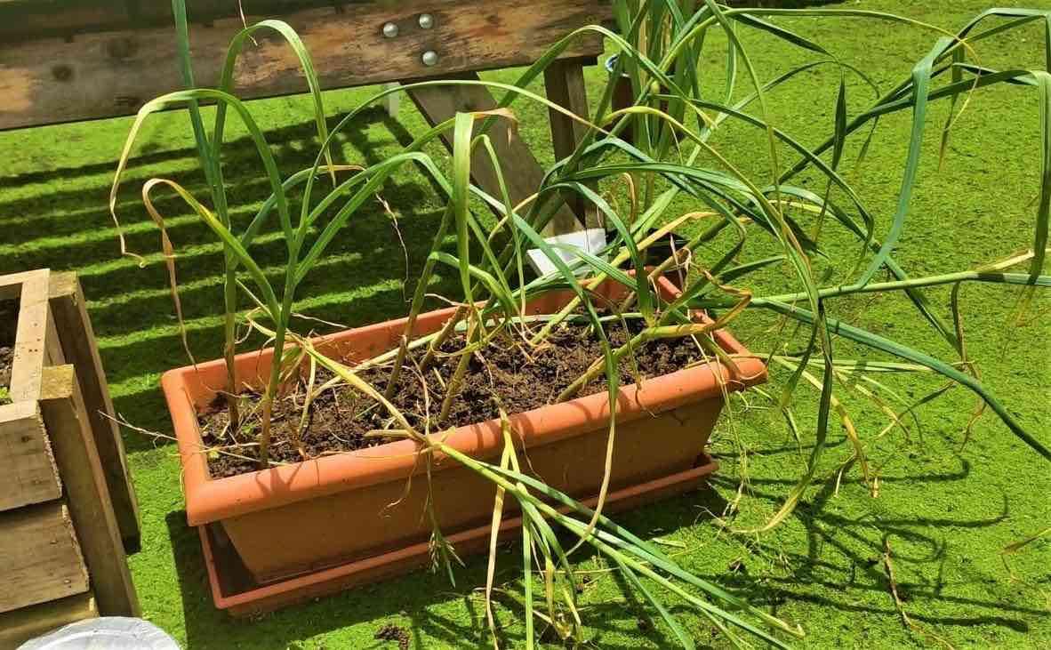 cultivar tus ajos sin semilla y en maceta