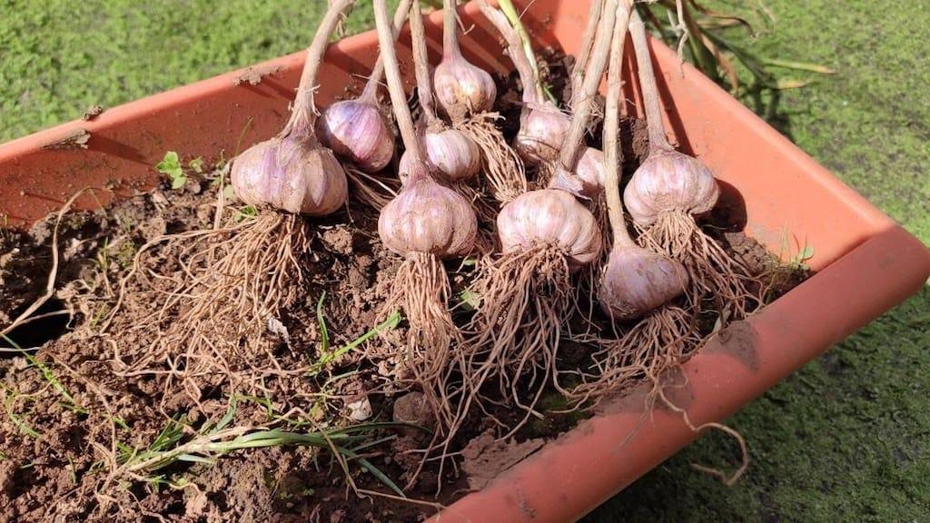 cultivar tus ajos sin semilla